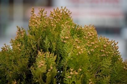 花粉の季節 べにふうき茶の時期が始まりました。