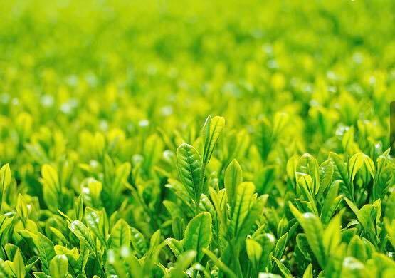 新茶を愛昌園茶舗では本日より販売です。